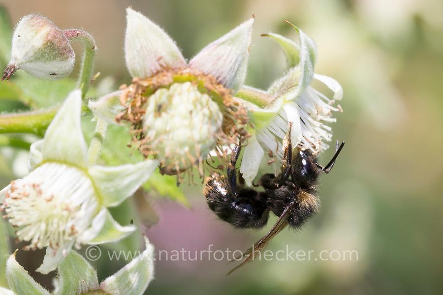 Wiesenhummel, Wiesen-Hummel, Hummel, Männchen, Drohn, Drohne, Blütenbesuch an Himbeere, Pollenhöschen, Bombus pratorum, Pyrobombus pratorum, early bumble bee, early bumblebee, early-nesting bumblebee, male, le bourdon des prés