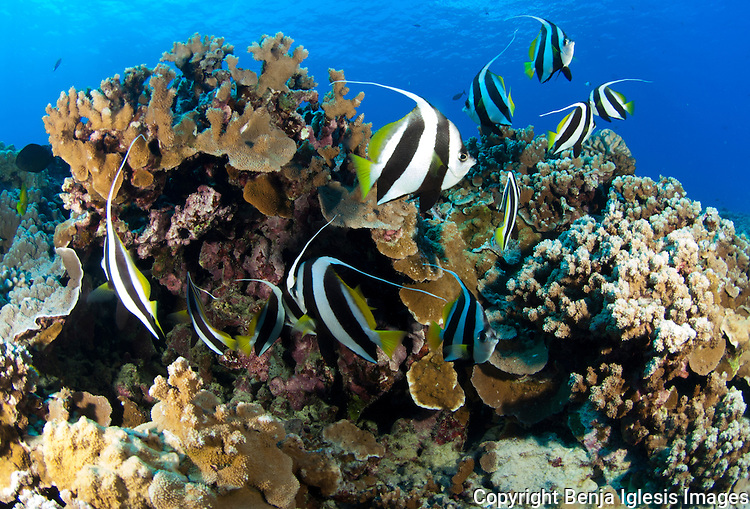 Pennant Butterflyfish over healthy coral at mid reef molokini Maui Hawaii.