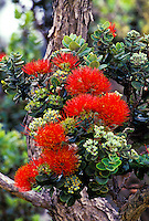Native ohia blossoms at Hawaii tropical botanical gardens
