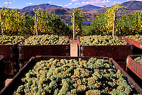 Harvested Green Grapes packed in Crates in Vineyard, South Okanagan Valley, BC, British Columbia, Canada