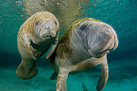 Florida Manatee, Trichechus manatus latirostris, A subspecies of the West Indian Manatee. A manatee mother and her young calf at the Three Sisters Springs. Crystal River, Florida.