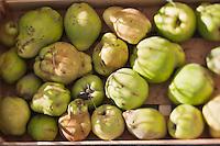 Europe/France/Provence-Alpes-Côte d'Azur/13/Bouches-du-Rhône/Env d'Arles/Le Sambuc: Coings du Potager bio du Restaurant Bio: La Chassagnette
