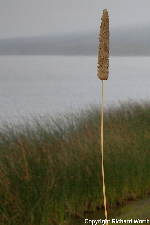 A cattail at Upper Crystal Springs Reservoir with the water and Santa Cruz Mountians in the background softened by morning fog.