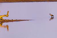 africa, Zambia, South Luangwa National Park, hadeda ibis (Bostrychia hagedash