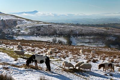 United Kingdom, Wales, Powys, Brecon Beacons National Park, near Capel-y-ffin: Grazing livestock on Hay Bluff with view to Pen y Fan peak, Black Mountains | Grossbritannien, Wales, Powys, im Brecon Beacons National Park, bei Capel-y-ffin: Schafe und Ponys weiden im Winter auf dem Hay Bluff Huegel mit Blick auf den Pen y Fan Gipfel in den Black Mountains
