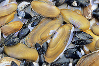 Pacific Ocean razor clam, Siliqua patula, mussels, Mytilus californianus, Kalaloch beach, Olympic National Park, Olympic Peninsula, Washington, USA, USA