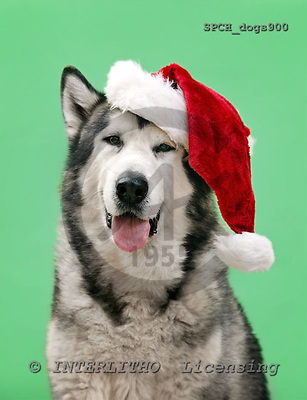 Xavier, ANIMALS, dogs, photos+++++,SPCHDOGS900,#a#