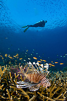 Common lionfish, Pterois volitans and scuba diver over Coral Reef, Komodo National Park, Indonesia