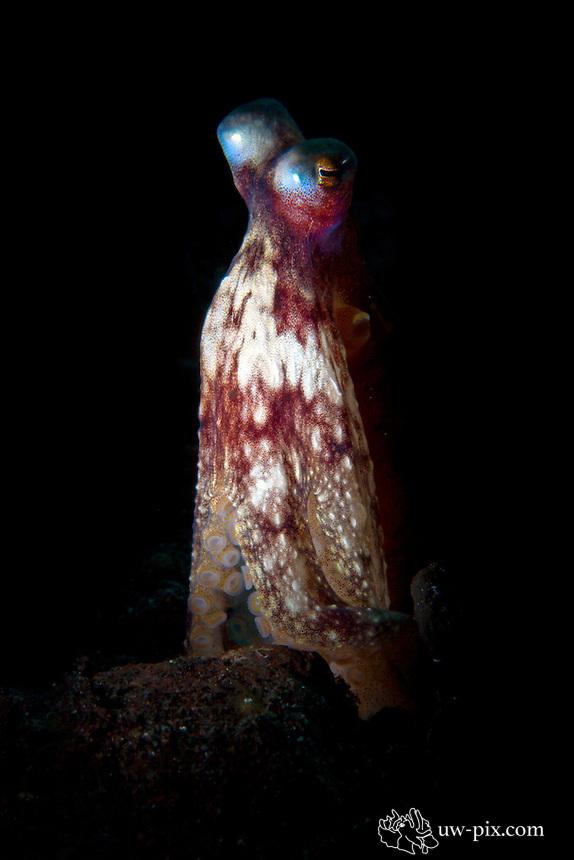 Octopus - snoot at Tulamben, Bali, Indonesia