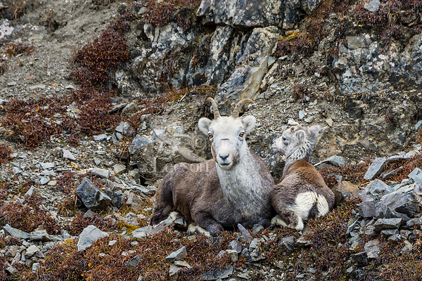 Stone sheep or Stone's sheep (Ovis dalli stonei), a southern subspecies of Thinhorn Sheep, ewe and lamb resting on mountain hillside.  Northern British Columbia.  Sept.
