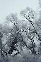 Pair of Bald Eagles (Haliaeetus leucocephalus) in frost covered willows. Lower Klamath National Wildlife Refuge, Siskiyou County, California. December.