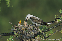 Scissor-tailed Flycatcher (Tyrannus forficatus), female feeding young in nest, Starr County, Rio Grande Valley, Texas, USA