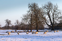 25-1-2021 Ewes in snow covered parkland  in Lincolnshire <br /> ©Tim Scrivener Photographer 07850 303986<br />      ....Covering Agriculture In The UK....