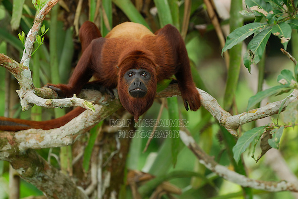 Red Howler Monkey (Alouatta seniculus), adult, Iquitos, Peru