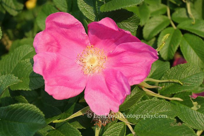 Pink Rugosa Rose  #F24