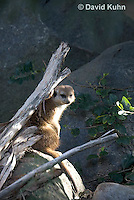 0329-1003  Meerkat, Suricata suricatta  © David Kuhn/Dwight Kuhn Photography.