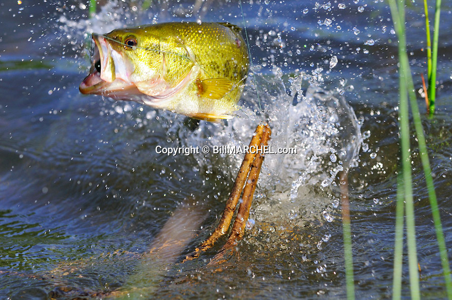 00710-016.20 Largemouth Bass is leaping to shake lure (Scum Frog) from its mouth.  Bulrush, reeds, shallow water, lake, fish, fishing, action, jump.
