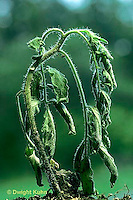 HS09-002e  Tomato - wilted plant, flaccid, lack of water