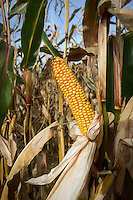 Forgage maize cob ready for harvest - October, Norfolk