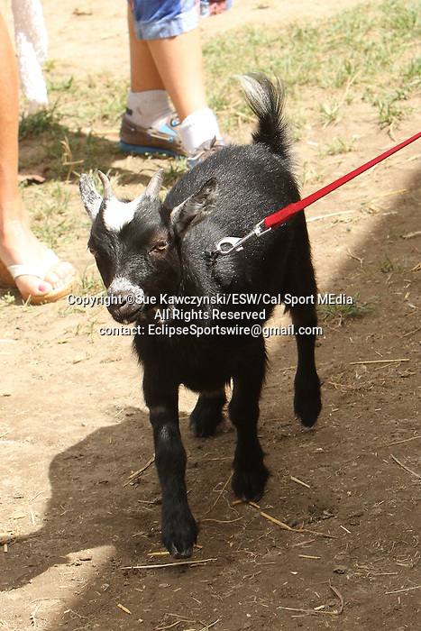 August 17, 2014:  Lilly the Goat at the Pony Barn in the backstretch barns at Saratoga Racetrack. Sue Kawczynski/ESW/CSM