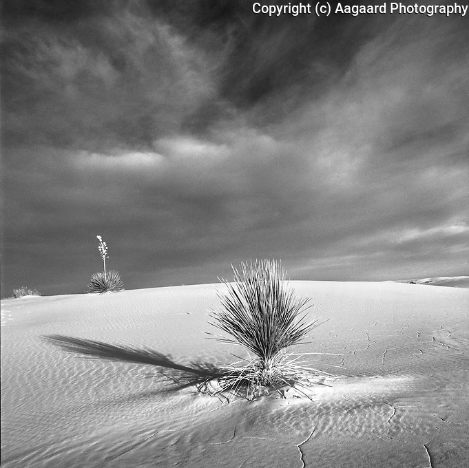 White Sands with yucca at sunrise.<br /> <br /> Hassleblad 500C/M, 80mm lens, Ilford XP2 film, red filter