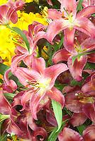 Lilium 'Fire Queen' (Oriental) or Mt. Zuma? lily