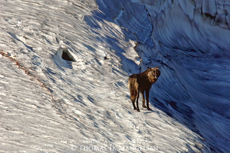 Crossing over an icy ridge and into the shadows beyond, one of the Toklat wolf pack females continues the dangerous pilgrimage back to her pups.