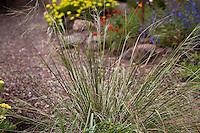 Purple Needle Grass (Nassella pulchra) flowering in Kyte California native plant garden