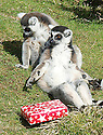Billy and Taffy, the Whipsnade Zoo Lemur twins, sit in the sun with a present celebrating their 25 birthday, which makes them the oldest known twins in the World. Lemurs rarely live past 20. The Whipsnade zoo keepers celebrated their birthday with presents Wednesday March 13, 2013.  Photo by Max Nash / DyD Fotografos