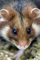 Hamster (Cricetus cricetus). .