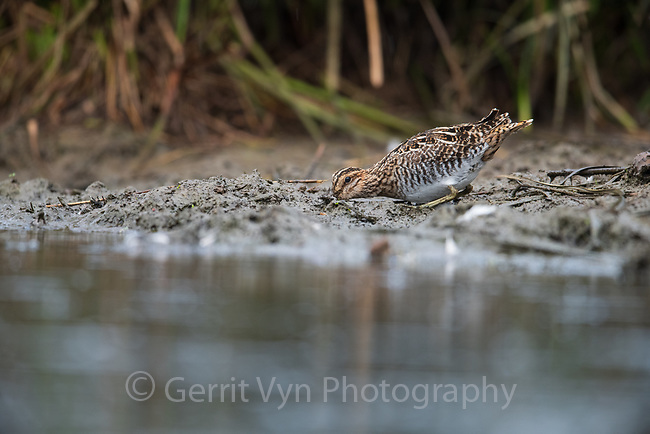 Wilson's Snipe (Gallinago delicata). Oregon. April.