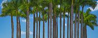 A palm grove near the Port of Miami, Florida.
