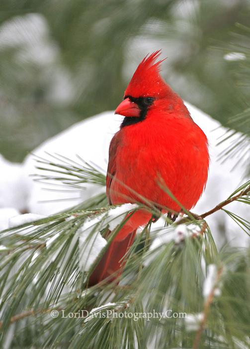 Male Cardinal in Snow #B125
