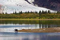 A  black bear searches the shore for salmon with the Pedersen Glacier in the background.