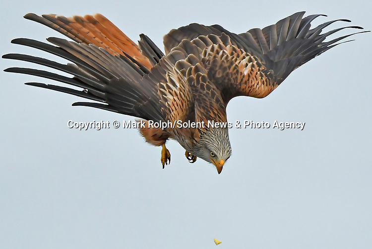 "Pictured:  Red Kites in the sky, witnessed from Photographer Mark Rolphs' garden in Ceredigion, Wales. <br /> <br /> Two majestic red kites provide free lockdown entertainment by doing battle in the skies above a Welsh garden.   The birds of prey swoop and dive, competing over small morsels of food in mid-air.<br /> <br /> The pictures were taken by hobby photographer Mark Rolph, on his property in the village of Penuwch, Ceredigion, where he he says he s sometimes lucky enough to see as many as 30 kites circling above his house.   The 54 year old retired civil servant said: ""The kites battle and tumble with each other in the skies above our land, usually over food or potentially seeking a partner.  SEE OUR COPY FOR DETAILS<br /> <br /> Please byline: Mark Rolph/Solent News<br /> <br /> © Mark Rolph/Solent News & Photo Agency<br /> UK +44 (0) 2380 458800"