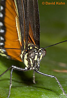 0402-08zz  Close-up of Tiger Longwing Butterfly, Detail of Proboscis Coiled Up, Heliconius hecale, South and Central America © David Kuhn/Dwight Kuhn Photography