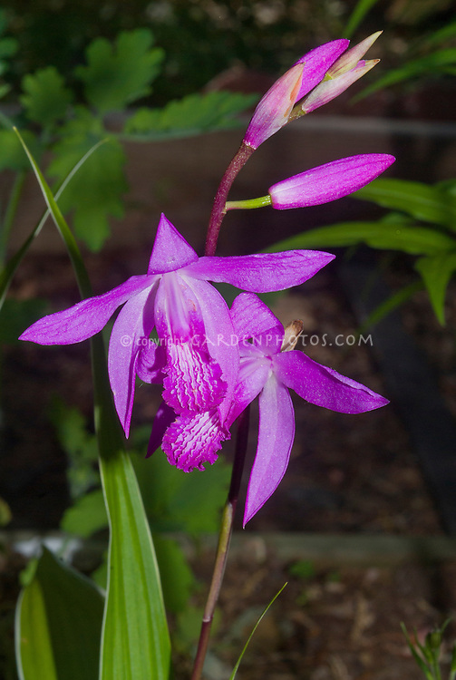 Bletilla striata hardy orchids in flower in June, pink blooms. This variety has a very thin variegated leaf edge.