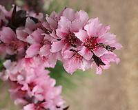 Small Ornamental Peach Tree blossoms in spring. Central Texas.