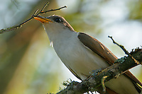 Yellow-billed cuckoo with twig for nest building