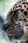 amur leopard close up of face through trees facing left, vertical