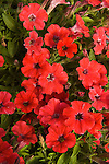 PETUNIA 'LITTLETUNIA RED ENERGY'