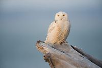 Male Snowy Owl (Bubo scandiacus) perched on coastal driftwood. Ocean County, Washington. March.