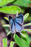 karner blue butterfly female laying eggs on wild lupine, concord, new hampshire, vertical
