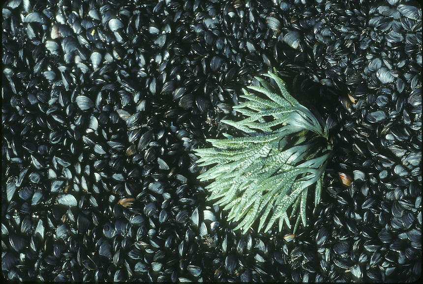Tiny mussels and fucus seaweed in the intertidal zone on Appleore Island, Isles of Shoals, Maine..Photograph by Peter E. Randall