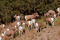 Bighorn Sheep (Ovis canadensis) in Kootenay National Park, near Radium Hot Springs, BC, British Columbia, Canada