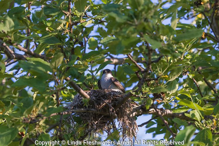 Nesting eastern kingbird sitting in an apple tree.