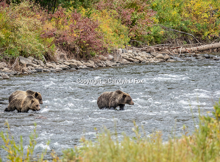 Grizzly bears cross the river.