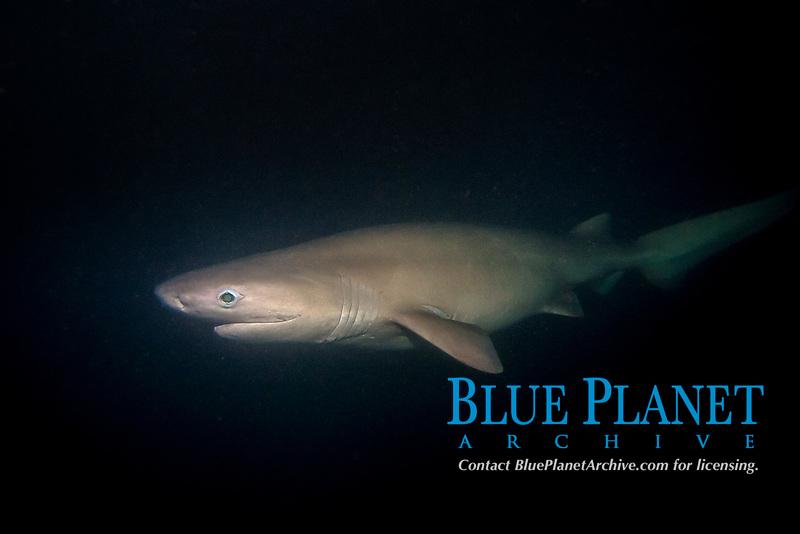 bluntnose sixgill shark, Hexanchus griseus, in Puget Sound, Seattle Washington