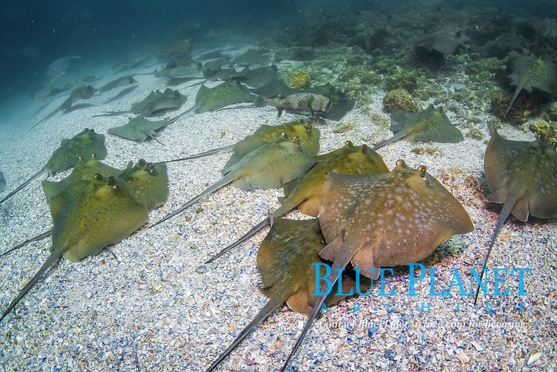 Blue Spotted Stingray, Neotrygon kuhlii, mating aggregation, Julian Rocks, Byron Bay, New South Wales, Australia, South Pacific Ocean