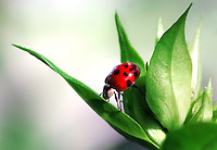A ladybug, or lady beetle, stretches to climb from one leaf to another atop a garden phlox bud at The Gardeners of America/Men's Garden Clubs of America national headquarters garden in Johnston, Iowa.